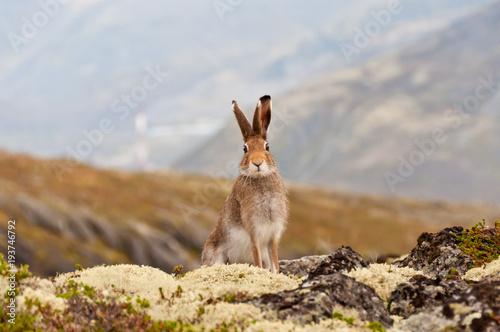 Fototapeta Tundra hare also known as mountain hare in natural habitat