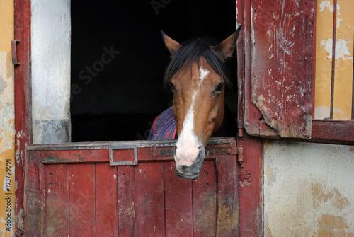 Fotografie, Obraz Cavallo in scuderia