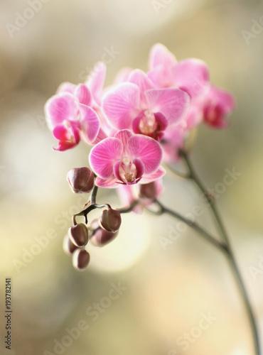 Fototapeta Różowe storczyki obraz