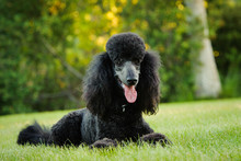 Black Standard Poodle Dog Lying Down In Park Grass
