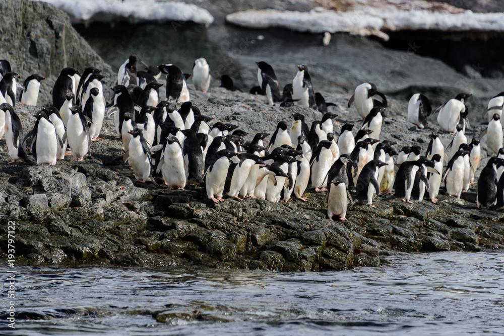 Adelie penguins on beach