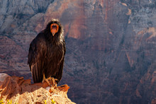 Detail Of Condor With Funny Expression In Zion National Park