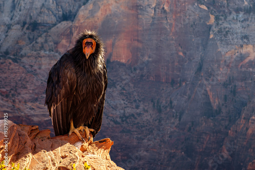 Detail of condor with funny expression in Zion national park Canvas Print