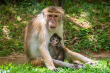 Macaque Mother Breastfeeding Its Baby In Kandy, Sri Lanka