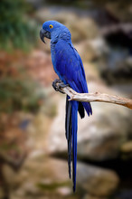 Blue Macaw On Tree
