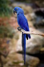 Blue Macaw On Tree