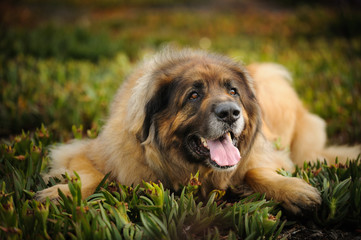 Leonberger dog outdoor portrait lying down in field