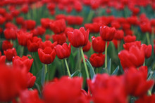 Red Tulips Flowers Garden