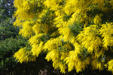 Blossoming Mimosa Tree In Springtime
