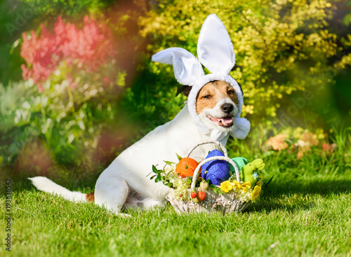 Cute dog in costume of easter bunny ready for Pascha carnival & Cute dog in costume of easter bunny ready for Pascha carnival - Buy ...