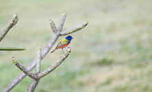 Male Painted Bunting (Passerin...