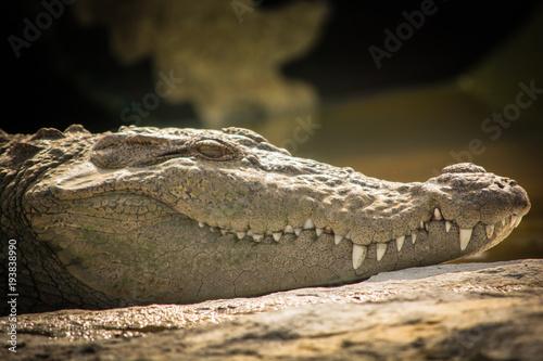 Foto op Plexiglas Krokodil Mugger Crocodile resting on rock with water backdrop