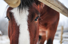 Clydesdale Appears Under The F...