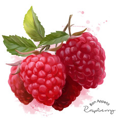 Raspberry watercolor illustration