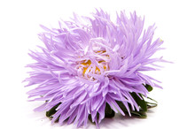 Colorful Aster Flowers Isolate...