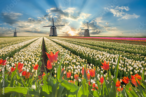 Landscape with tulip flowers and windmill Poster