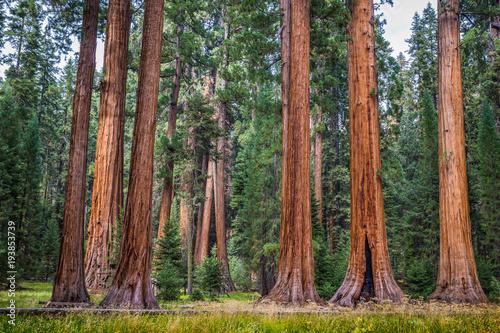 Foto auf Gartenposter Vereinigte Staaten Giant sequoia trees in Sequoia National Park, California, USA