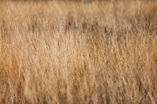 Golden High Dry Grass, Close U...