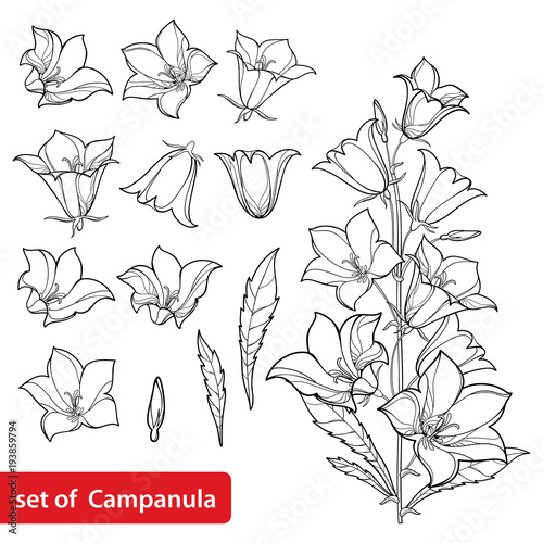 Vector set with outline Campanula or Bellflower or Bluebell flower bunch, leaves and bud in black isolated on white background Canvas Print