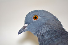 Pigeon Head Close-up