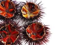 A Species Of Sea Urchin, Purple Sea Urchin