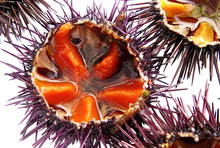 A Species Of Sea Urchin, Purpl...
