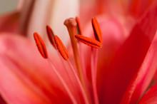 Blütenstempel Einer Roten Lilie Als Makro Aufnahme