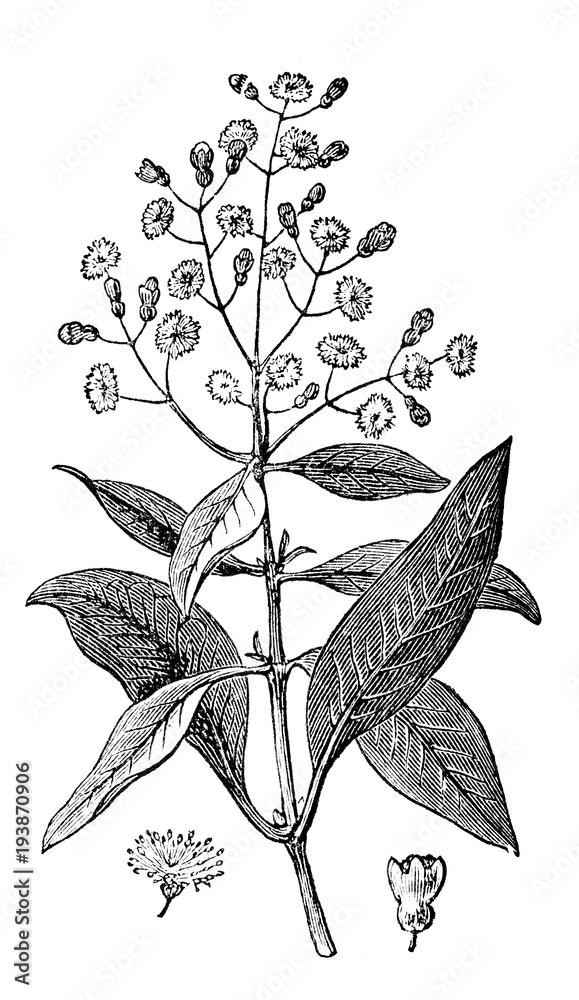 Fototapety, obrazy: victorian engraving of allspice (pimento)