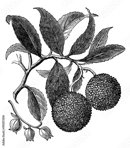 Photo victorian engraving of an arbutus tree branch