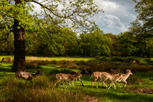 Group Of Deer In Richmond Park...