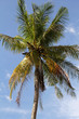 Coconut palm on blue sky. Nature and holidays in Thailand.