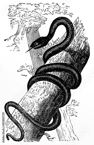 victorian engraving of a black rat snake