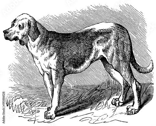Photo victorian engraving of a bloodhound