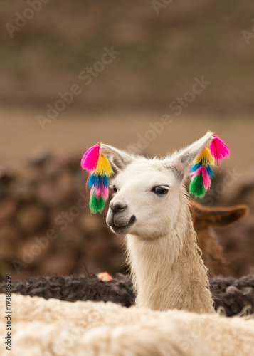Staande foto Lama Andes region Bolivia lama closeup