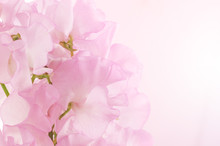 Floral Background Of Sweet Pea...