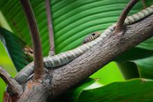 Indochinese Rat Snake (Ptyas K...