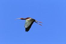 White-faced Ibis California