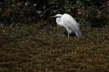 Egret Feeding In The Zoo