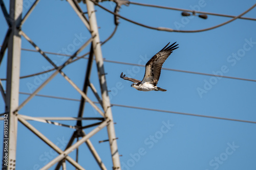 Photo  Osprey flying in an urban environment