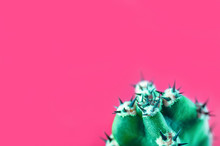 Cactus Minimal Fashion Stillife Concept. Trendy Bright Colors Mood. Green Cactus With Thorns On Pink Background, Copy Space. Isolated On Rose.