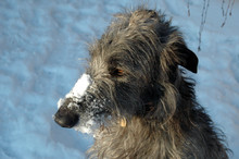 Scottish Deerhound With A Snow...