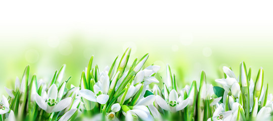 Fototapeta Panorama Beautiful snowdrops flower blossom isolated on white panorama background. Spring nature. Greeting card template. Soft toned
