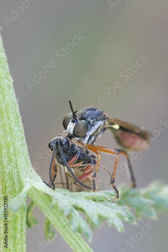 Robber fly, Dioctria hyalipennis, and a wasp as a prey Poster
