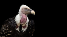 A Ruppell's Griffon Vulture (Gyps Rueppellii).