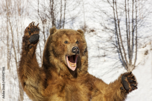 Taxidermy of a Kamchatka brown bear in forest