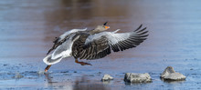 Greylag Goose Taking Off.