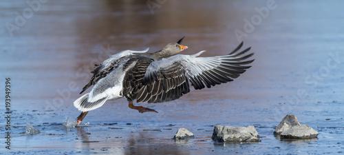 Greylag Goose taking off.