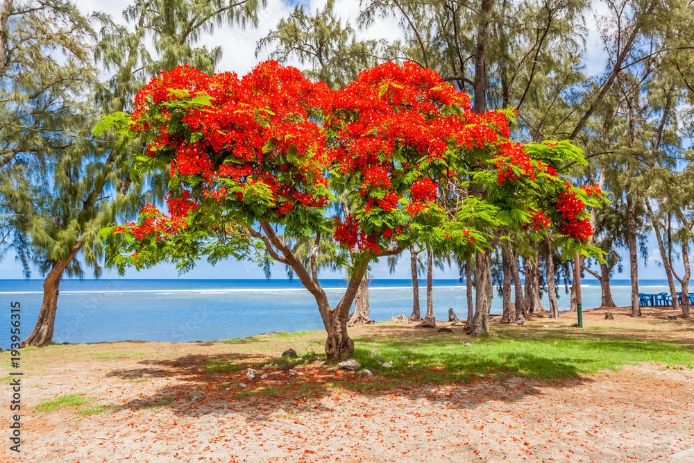 flamboyant sur plage de Saint-Leu, île de la Réunion