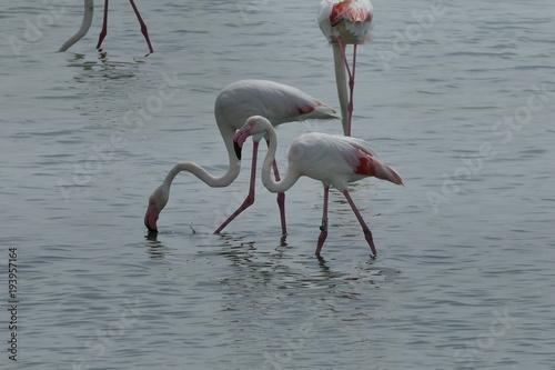 Fenicottero rosa - birdwatching nel Parco del Delta del Po