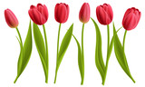 Fototapeta Tulipany - Realistic red tulip flower collection with leaves. Vector illustration, isolated on white for spring and nature design.
